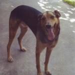 Elveszett Székelyudvarhelyen a 3 éves fekete-barna keverék kutyánk (fotó)